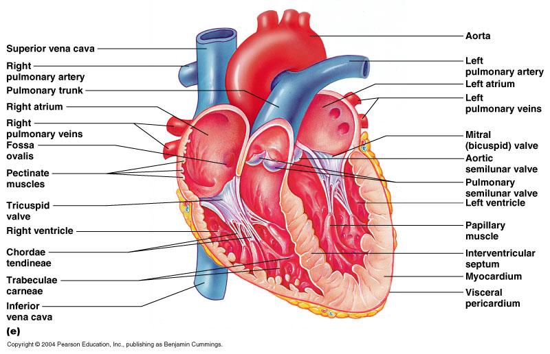 Human Heart  Inside And Out   U2013 La Plant